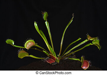 tropical carnivorous plant species dionaea