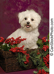 Maltese in a Holiday Basket