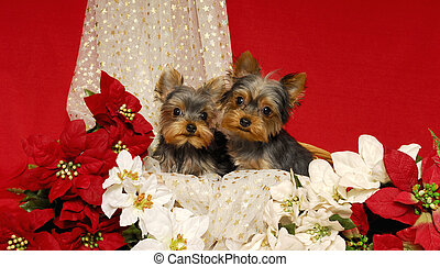 Yorkies and Poinsettias