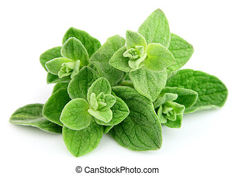 Fresh oregano leafs on white close up