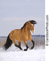 stallion running in snow