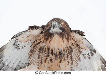 REd Tailed Hawk Isolated