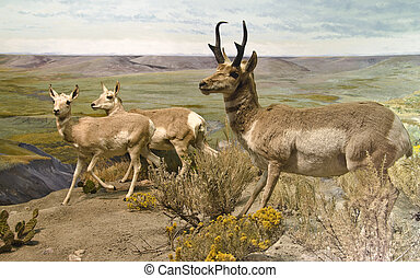 Pronghorn Trio - Three pronghorn on alert in northern...