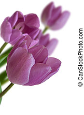 Tulips flowers on white background