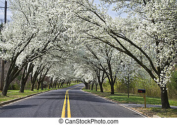 Spring Road - White Spring blossoms overhang this country...