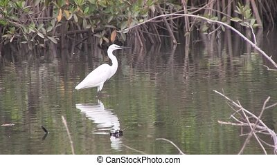 Great white egret on the mangroves - Great white egret on...