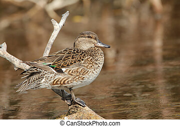 Female Green-winged Teal Anas crecca - Everglades National...
