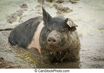 Muddy Pig - Full frame image of a full grown pig sitting in...