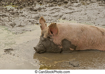 In the Mud - Large pig or sow laying in a muddy pond with...