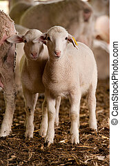 Twin sheep - young twin sheep standing together in a barn...