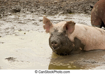 muddy pig - color image of a pig in a muddy pond with mud...
