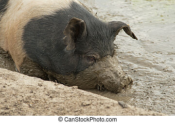 Close up of pig in the mud - color image of a pig in a muddy...