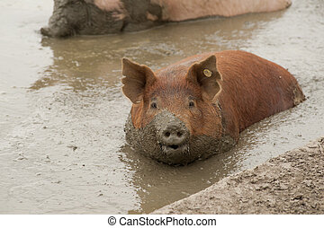 Sow in mud - Large Pig or Sow taking a mud bath with mud...