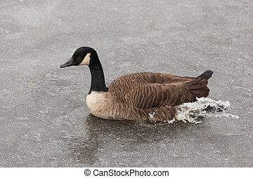 Wild duck swimming on the water - outdoor shot