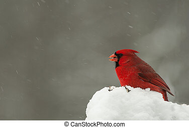 Male Cardinal Bird - Red male cardinal sitting on a pile of...