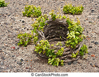 Santorini vine basket in spring - Santorini vine cultivated...