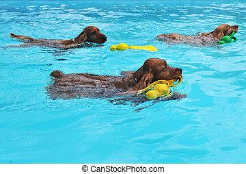 swimming cocker - purebred three english cocker swimming in...