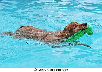 swimming cocker - purebred english cocker swimming in a...