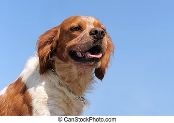 brittany spaniel - portrait of a brittany spaniel on a blue...