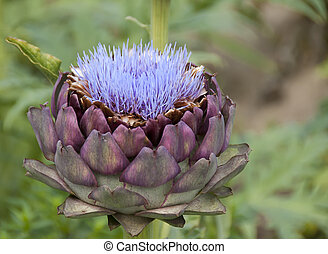 Artichoke beautiful flower