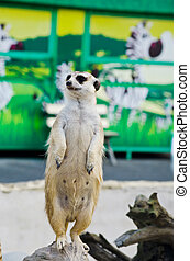 Meerkat in the wild life. - Image of Meerkat in the wild...