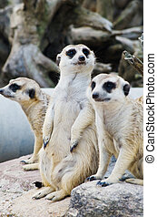Meerkat in the wild life - Image of Meerkat in the wild life...