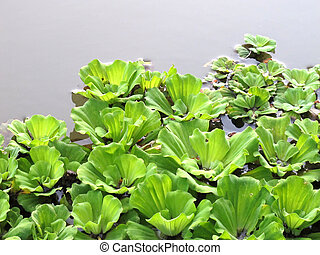 Water Cabbage on the river  - Water Cabbage on the river