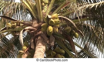 Coco nuts growing in a palm tree.