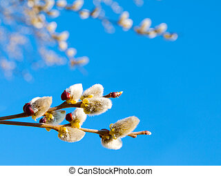 Branch with willow buds (pussy willows) with sunlight , spring photo