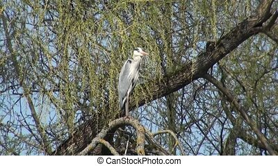 Grey Heron on the branches of a tree.
