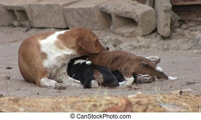Puppies suckling on their mother in The Gambia, West Africa....