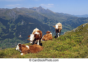Cows grazing in alpine meadows