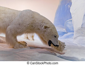 Mama Polar Bear - A mother polar bear is hunting for food...
