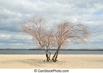 Lonely tree on the sand riverside - Lonely tree of willow...