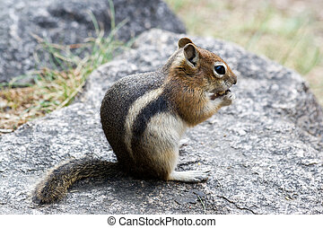 Rocky Mountain Chipmunk Nibbles On A Nut - A small striped...