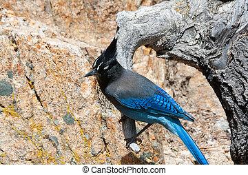 Rocky Mountain Blue Bird - A rocky mountain blue bird...