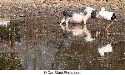 pig and white stork