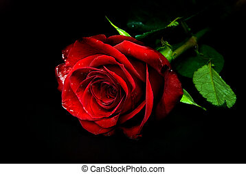 rose - red rose against black background