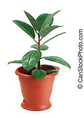 Houseplant ficus on white background
