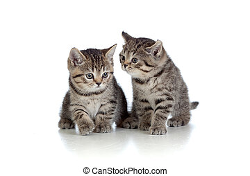 two kittens pure breed striped british isolated