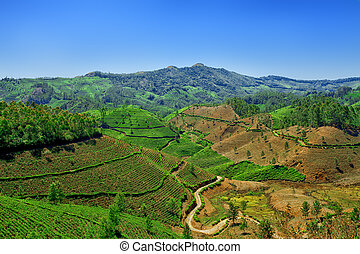 cropland - Beautiful landscape - Tea plantation fields....
