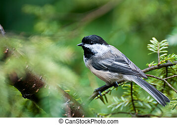Chickadee Perched in a Tree