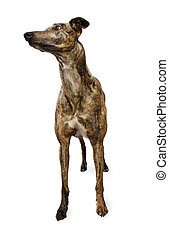 Standing Greyhound Isolated - Standing Brindle Colored...
