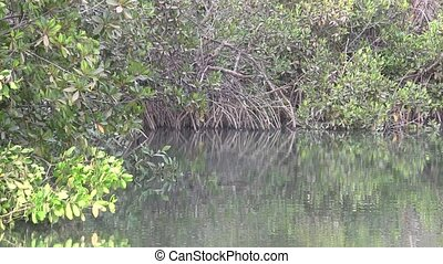 Mangrove swamp in a wetland estuary in The Gambia.