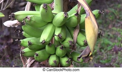 Bananas growing in the tropics - Banana plantation in The...