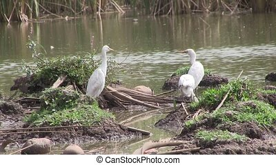 Cattle Egrets in wetlands. - Cattle Egrets in wetlands in...