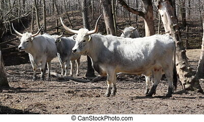old breed podolian cows with big ho