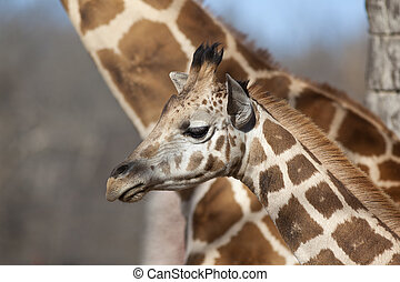 Baby Giraffe - A close up shot of a young giraffe Giraffa...