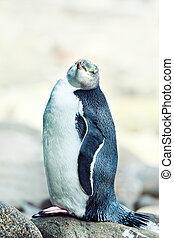 Yellow-eyed Penguin - Wildlife photo of a Yellow-eyed...