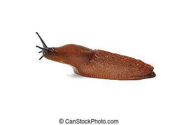 Spanish Slug - Macro of big Spanish Slug (Arion vulgaris)...